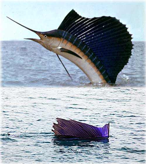 Какая рыба самая быстрая на земле - рыба парусник?