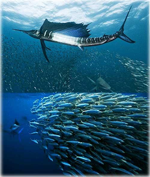 рыба парусник - скорость